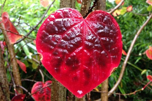 Heart Leaf - The Forestry Commission