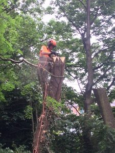 Coronet cuts being carved into a storm damaged ash tree to veteranise